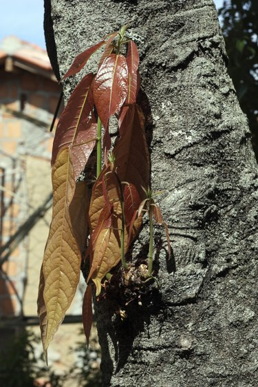 Cocoa Tree Trunk Sprouting and Flowering
