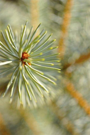 Scotch- Pine Close-up