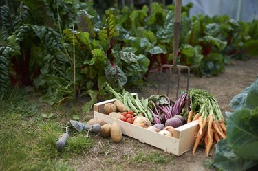 Freshly picked box of vegetables on allotment.
