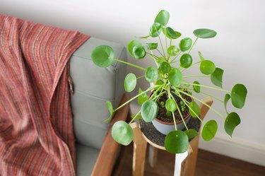 Pilea plant next to sofa