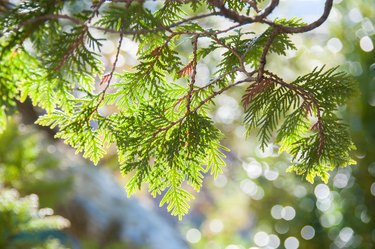 Close up of Incense Cedar tree branch in afternoon sun