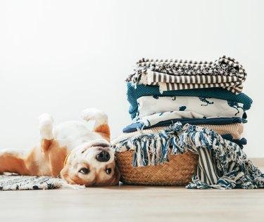 Beagle dog lies on floor near the basket with laundry