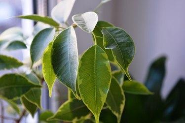 The aspidistra leaves