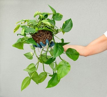 Person holding up a leafy green pothos plant