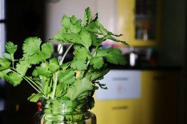 Close-up of coriander/cilantro stems in a mason jar in the kitchen