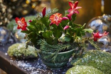Flowering succulent in pot