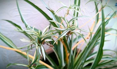 Spider plant with pups