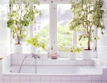 Ficus plants alongside bathtub