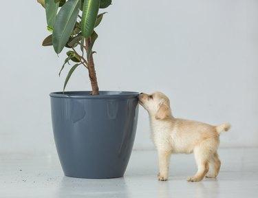 Puppy of a labrador near a pot with a house plant