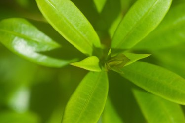 waxy leaves