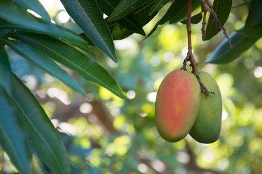 Tropical paradise - exotic mango fruit riping on the tree