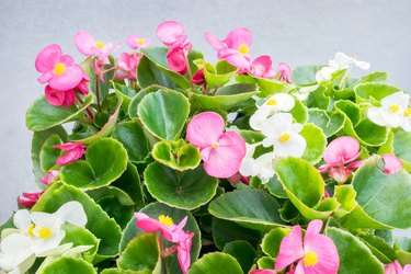 Wax Begonia with pink and white flowers