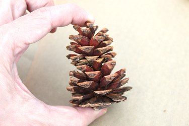tall pinecone