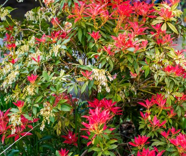 Close up of Pieris flowers and leaves (Pieris japonica)