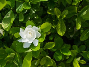 The Big Gardenia Flower