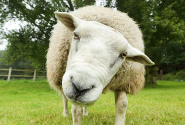 Sheep in field looking at camera