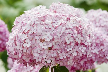 Smooth Hydrangea (Hydrangea arborescens) pink