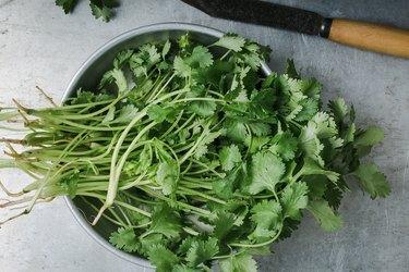 Fresh homegrown cilantro herbs, plant based food