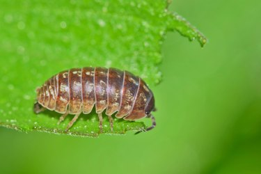 Sow bug with a green nature background.