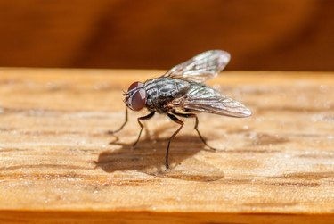Sarcophagus Fly
