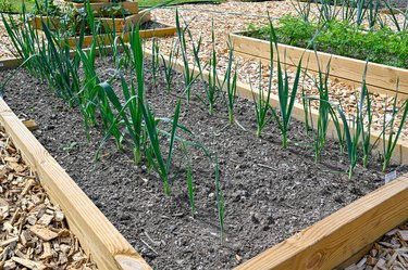 rows of leek at home in cultivating box