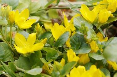Moneywort, creeping Jenny (Lysimachia nummularia)