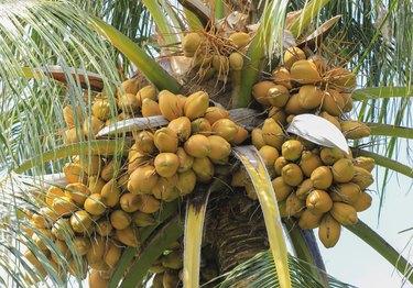 coconut fruit on palm tree on tropical island