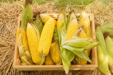 Corn in basket