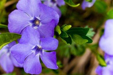 Vinca minor, common names lesser periwinkle or dwarf periwinkle in Botanical Garden