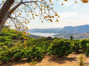 Summer landscape of mango trees plantation