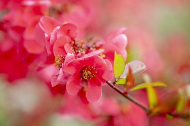 Close-up image of the beautiful spring flowering Japanese Quince flowers also known as Chaenomeles japonica