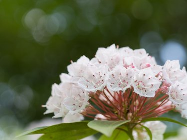 Kalmia flower of the flowering tree