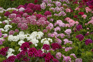 Sweet william dianthus flowering plants, perennials in the garden with delicate multiflower heads in a variety of colours, red, pink purple and white.