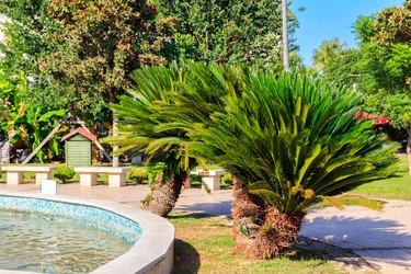 Pygmy date palm trees (Phoenix roebelenii) in city park in Kemer, Turkey