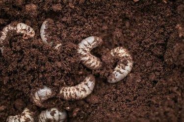 white Larvae of Otiorhynchus (sometimes Otiorrhynchus) on soil. Many of them e.i. black vine weevil or strawberry root weevil (O. ovatus) are important pest of plants.