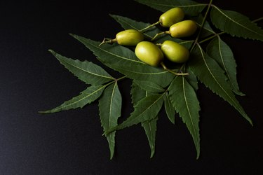 Green Neem leaves & nuts isolated