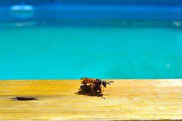 Wasp that has captured a bee and is resting on the edge of a swimming pool