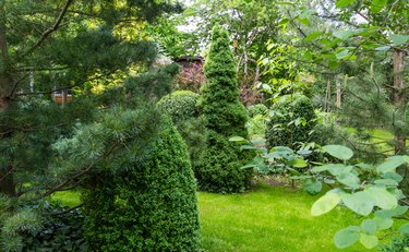 Landscaped garden with evergreens and lawn in spring time. Many boxwood trees Buxus sempervirens with young green foliage.  Picea glauca Conica and  Pinus parviflora Glauca in Peaceful atmosphere.
