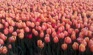 Orange tulips floral background