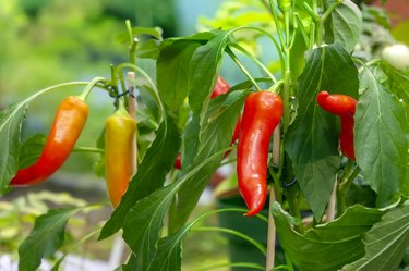Hot chili peppers on bushes growing in a garden
