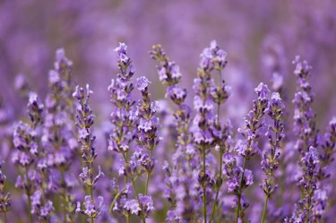 Europe, France, Vaucluse, Lavender Field in Provence