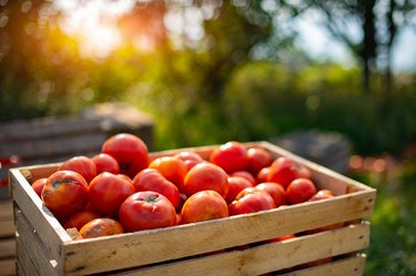 Red tomatoes in the wood box under the sunlight in the morning show a freshness of fruit and vegetable in the tomato farm and beautiful bright green meadow.