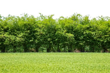 Bamboo wall with a green field isolated on white background.