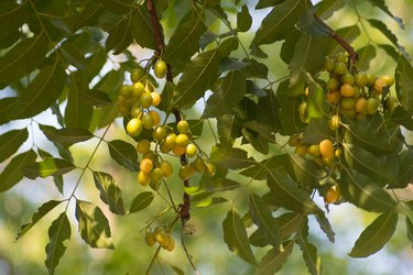 Azadirachta indica seeds hanging on tree, commonly known as neem, neem tree or Indian lilac