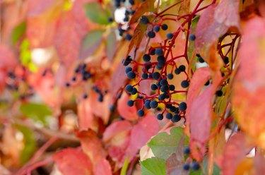 Virginia Creeper (Parthenocissus Quinquefolia) in autumn season,