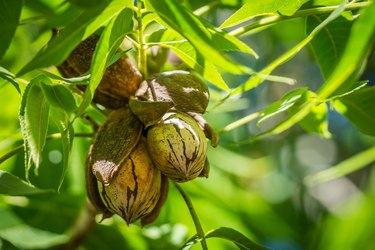 Pecan nut Cluster in shadows