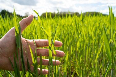 Hand holds green wheat plant