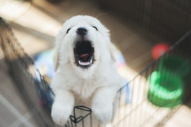 Purebred puppy Golden Retriever in a cage for potty training