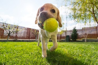 Dog with tennis ball in mouth