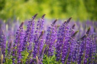 Purple blooming lupines - stock photo